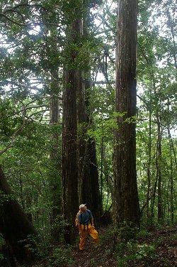 市ノ又渓谷風景林「ヒノキの巨木」