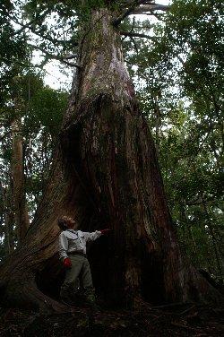 市ノ又渓谷風景林「根上り大将」